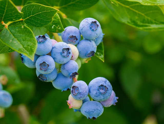Health Benefits Of Blueberries bilberry photo
