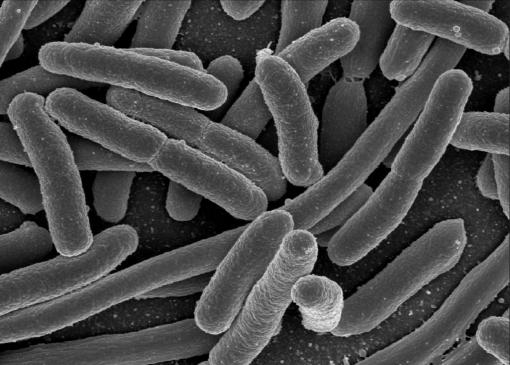 gut flora probiotic